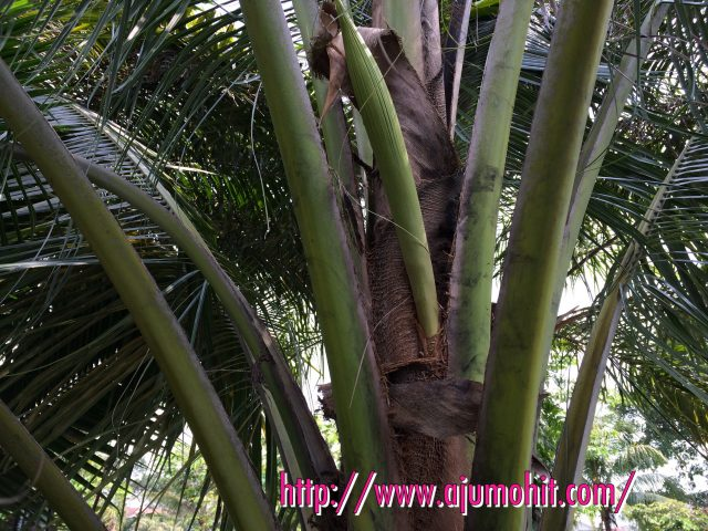 pokok kelapa hijau