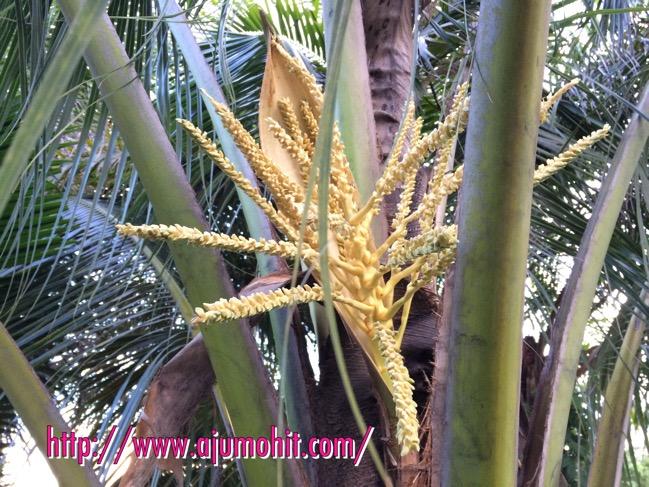 pokok kelapa mula berbunga