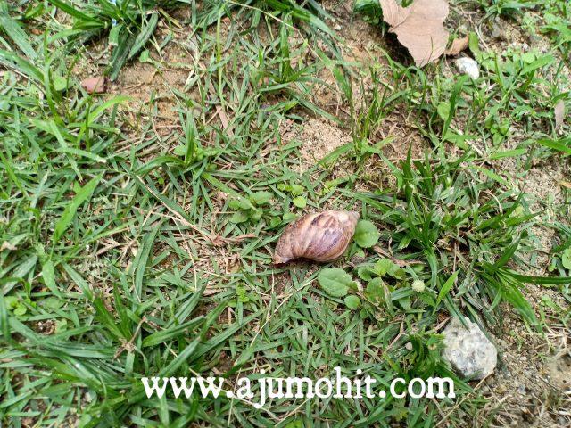 cara hapus siput babi