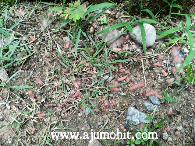 cara tabur racun siput babi