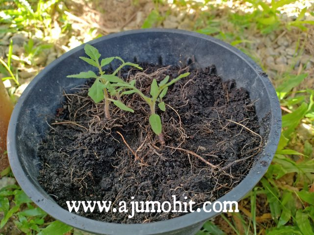 anak pokok tomato