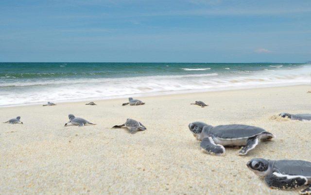 turtle cherating