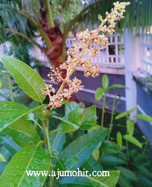 bunga putik mangga chokanan