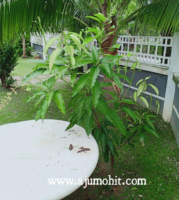 pokok mangga chokanan berbunga