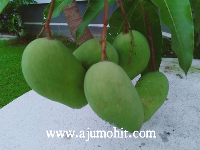 Pokok mangga chokanan baru pertama kali berbuah