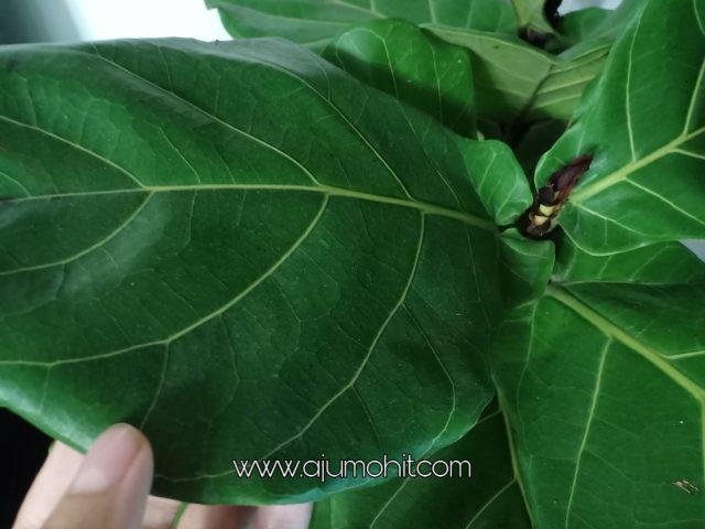 daun fiddle fig