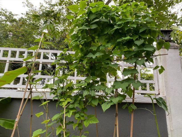 pokok kacang botol belum berbunga, hobi menanam sayur di rumah